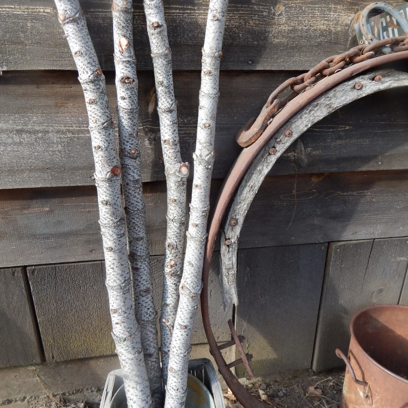 Large Red Fir Branches
