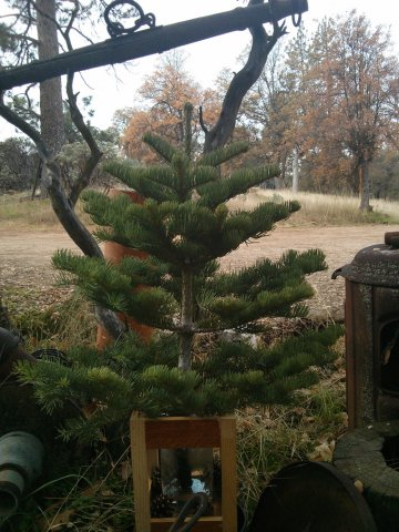 6 Silvertip Christmas Tree