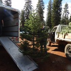 Loading beautiful Silvertip\'s on their way to Pottery Barn